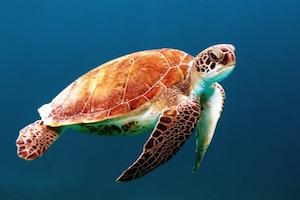 turtle-on-st-john