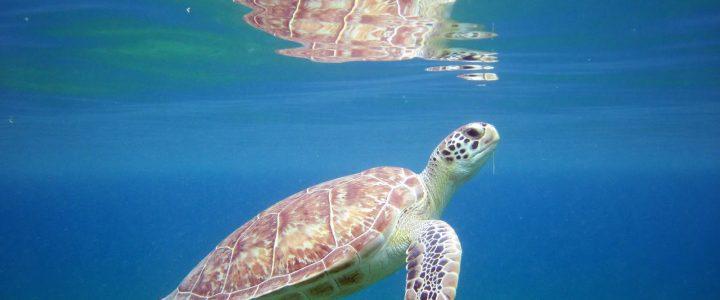 Swimming With the Turtles at Maho Bay